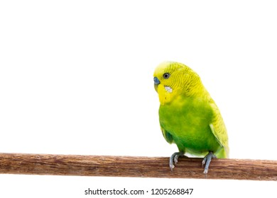 Yellow and green budgie, Budgerigar Bird on White Background