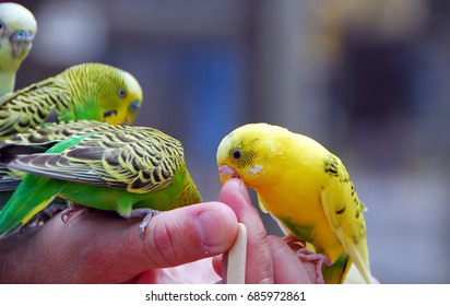 yellow green budgie parrot pet bird also known as Budgerigar Melopsittacus