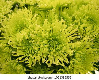 Yellow green chrysanthemum flower