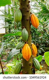 Yellow and green Cocoa pods grow on the tree. The cocoa tree ( Theobroma cacao ) with fruits.