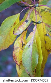 yellow and green dogwood leaves up close