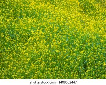 Yellow green flowers field of mustard plants growing in Dhulikhel, Nepal