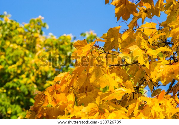Yellow and green leaves against the background of blue sky in autumn