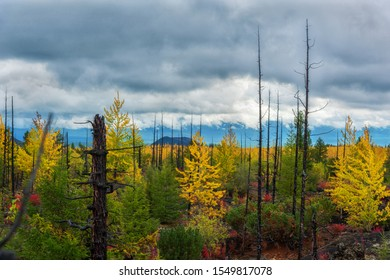 Yellow and green leaves of trees. Burned Pillars. Golden autumn. Dead trees on a sky background. Dead forest. Kamchatka.