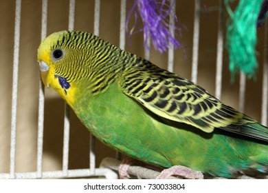 Yellow and Green Parakeet - Close up photograph of a standard green and yellow parakeet in a cage with toys in the background.  Selective focus on the head area of the bird.