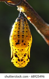 A yellow green pupa is hanging on branch.