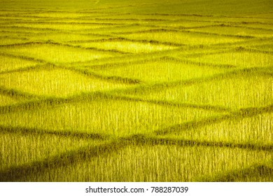 Yellow green wheat fields with the crossing rows looking like rectangular pattern. Perfect background for the collages, illustrations or digital media resources. Artistic retouching.