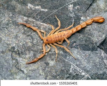 Yellow Ground Scorpion, on rock, from above. These relatively small scorpions are also known as Coahuila devil scorpions