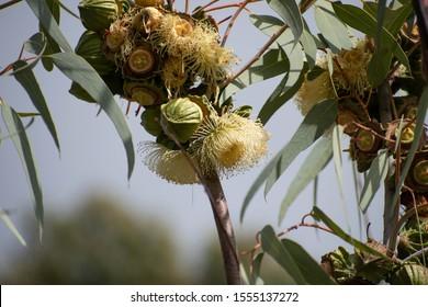 Yellow gumnut flower in bloom