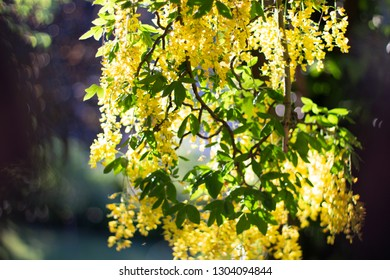 Yellow hanging Cassia Fistula branches in full bloom with a bokeh dark background.