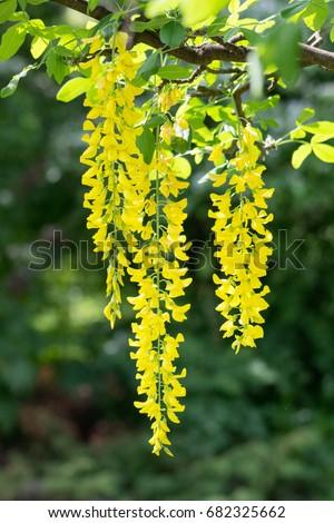 Yellow hanging flowers stock photo edit now 682325662 shutterstock yellow hanging flowers mightylinksfo