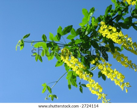 Yellow Hanging Flowers Green Leaves On Stock Photo Edit Now