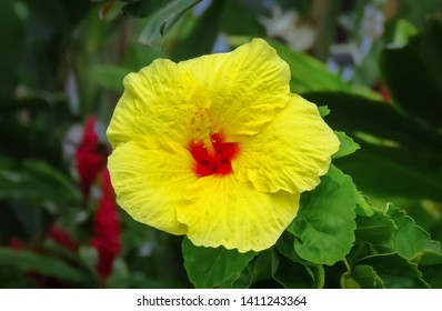 Hawaii State Flower Images Stock Photos Vectors Shutterstock