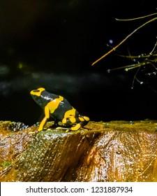 yellow headed bee poison dart frog a extreme dangerous poisonous terrarium amphibian pet