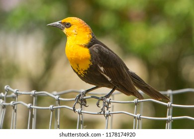 A yellow headed blackbird perched on a wire fence.  It is a medium-sized blackbird, and the only member of the genus Xanthocephalus.