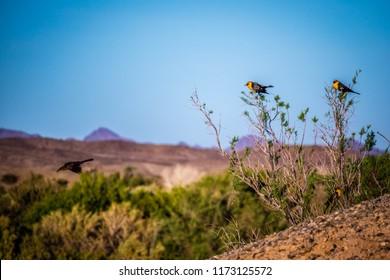 A Yellow Headed Blackbird in Yuma, Arizona