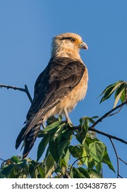 Yellow headed caracara (Milvago chimachima) has a beautiful overview along the riverside of Tarcoles river (Costa Rica)