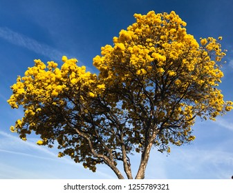 Yellow heart-shaped Ipe tree