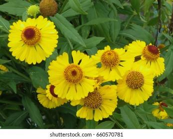 Yellow helenium autumn (Moerheim Beauty)