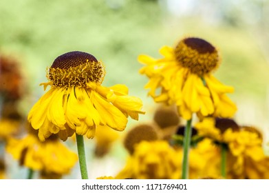Yellow Helenium Flowers