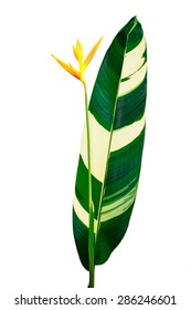 yellow heliconia flower isolated on white background