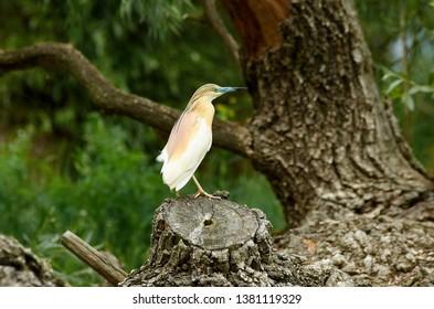 Yellow heron on a tree stump next to the river