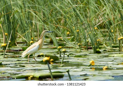 Yellow heron walking gracieously on water lillies leaves floating in the Danube Delta with tall green grass in the background