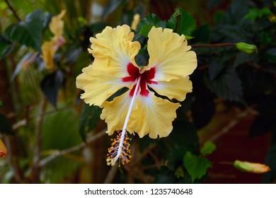 Yellow Hibisco Flower