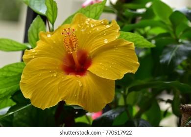 Hibiscus Flowers Images Stock Photos Vectors Shutterstock
