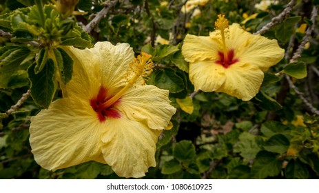 Yellow flower with red center images stock photos vectors yellow hibiscus flowers with red center mightylinksfo