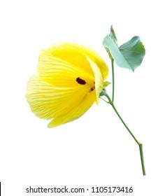 Yellow hibiscus glanduliferus flower