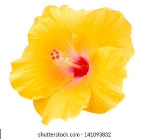 Yellow Hibiscus Flower Images Stock Photos Vectors Shutterstock
