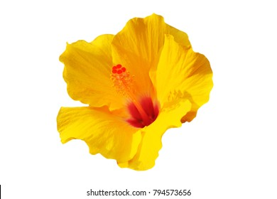 yellow Hibiscus on white background -  Hibiscus rosa-sinensis, Shoeblackplant, Tropical Hibiscus, Chinese Hibiscus