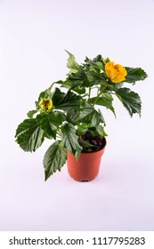 A yellow hibiscus in a pot