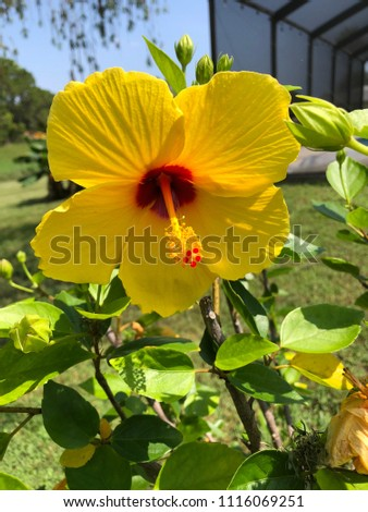 Yellow Hibiscus Tree Stock Photo Edit Now 1116069251 Shutterstock