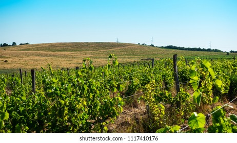 Yellow hill with electric pillar and green grape rows