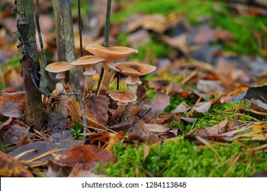 a lot of yellow honey agaric autumn in the forest on a green stump, edible mushrooms, gather mushrooms