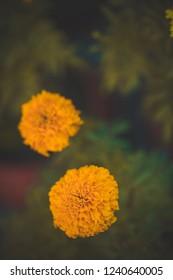Yellow honey bee Flower Maco