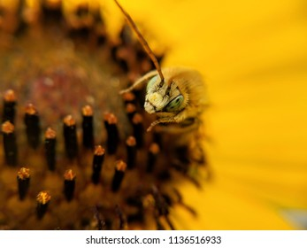 yellow honeybee on wild sunflower