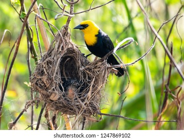 Yellow Hooded Blackbird with a nest of babies.
