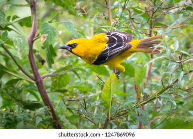 Yellow Hooded Blackbird perched in a bush.