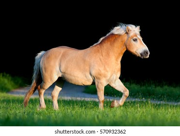 Yellow horse running in summer. Big fat horse trot on black background.