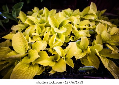 Yellow Hosta Leaf