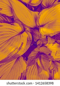 Yellow  Hosta. Hosta leaves. Abstract background image. Beautiful Hosta leaves background