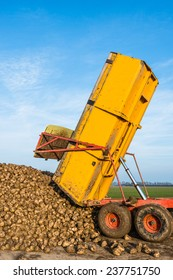 A yellow hydraulic dumper dumps sugar beets on a heap beside the field awaiting transport to the sugar factory.