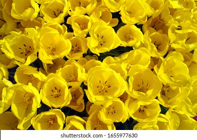 """Yellow impression of tulips on a sunny day in """"De Keukenhof"""", Lisse."""