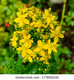 Yellow inflorescences of St. John's wort close up