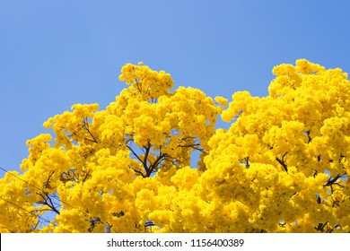 Yellow ipe in bloom. Typical brazilian tree. One of the most beautiful and delicate flowers in Brazil. Blue skies, wonderful sunny day. Magical, romantic moment. Nature show