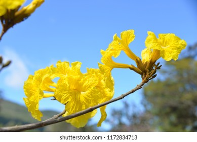 Yellow Ipe Flower