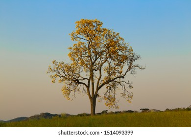 Yellow ipe flowering tree in a plantation field with colorful sunset.